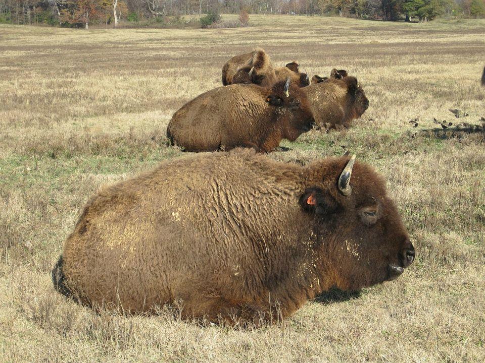 Bison_Shelby_Farms_Park_Memphis_TN_001.jpg