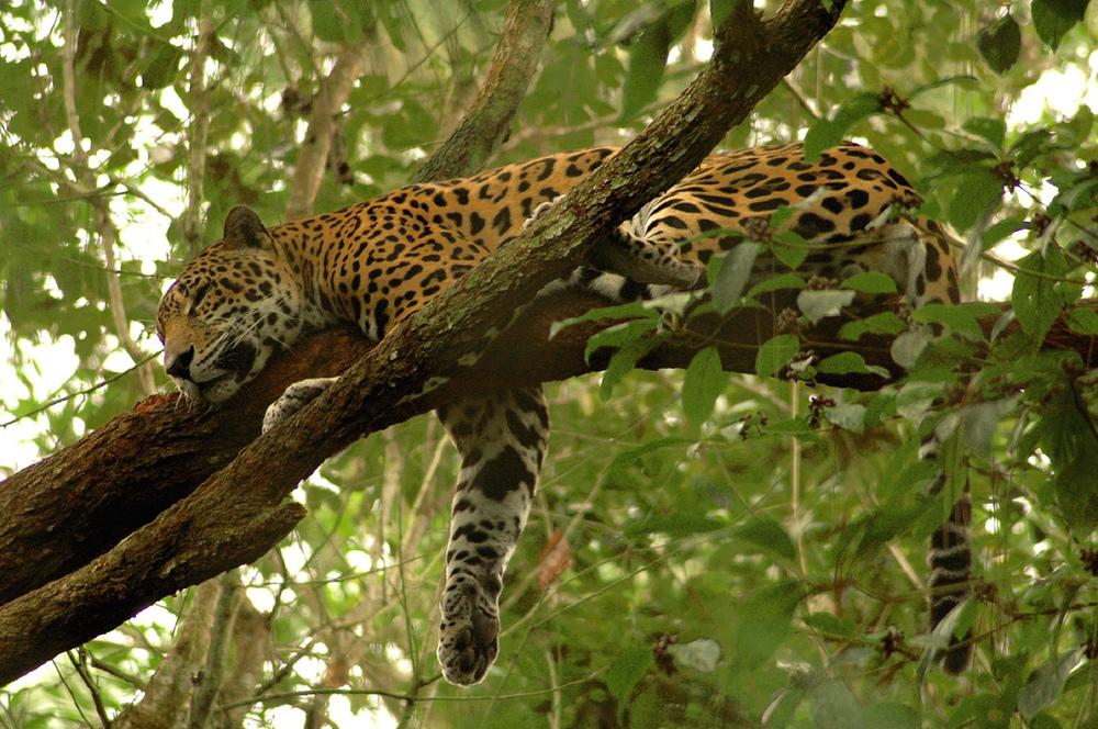 Panthera_onca_-.jpg