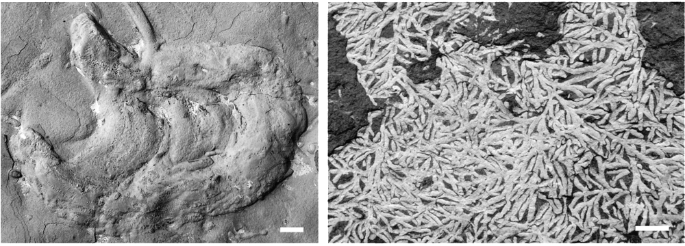 Trace fossils on a bedding plane. Scale bars = 1 cm. Left: Rhizocorallium commune Schmid, 1876, probably a sediment-feeding trace of a polychaete. Middle Triassic (Anisian) limestone (Muschelkalk Group), Weimar, Germany. Right: Chondrites bollensis (Zieten) Schimper, 1869, maybe formed by a chemosymbiotic worm-like organism. Lower Jurassic (Toarcian) black shale of Holzmaden, Germany.