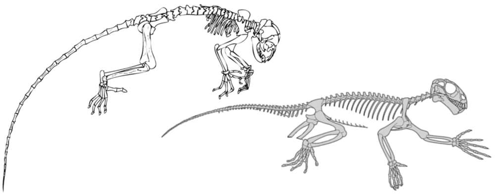 Left: Darwinius (redrawn by Jørn Hurum; after Franzen et al. 2009). Right: Suminia (after Fröbisch and Reisz 2009).