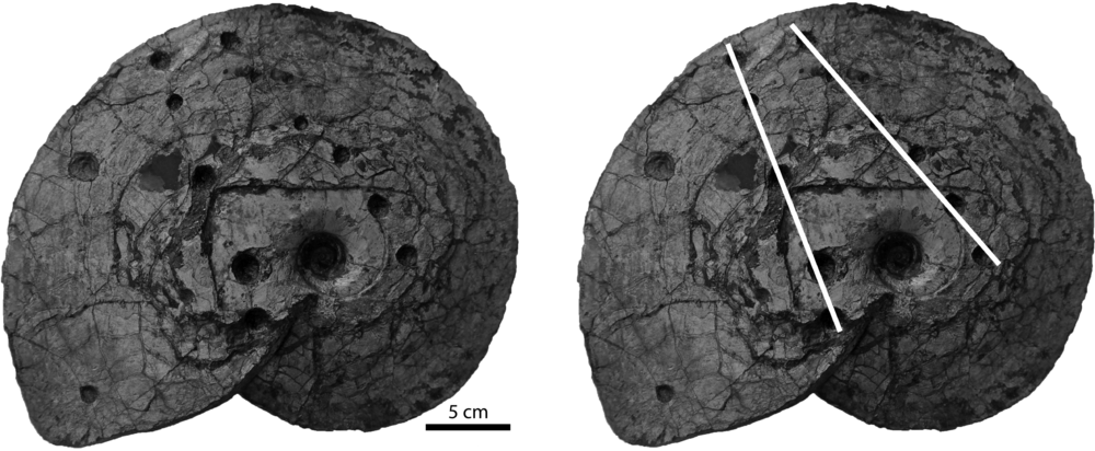The ammonite  Placenticeras meeki  from the Cretaceous Bearpaw Formation, Telegraph Creek, Montana, USA, with and without white lines indicating the mosasaur jaws. Collection number PMO 227.613.