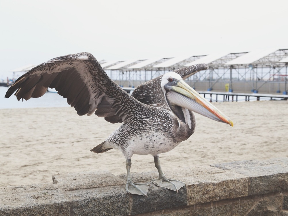 Bad ass pelican