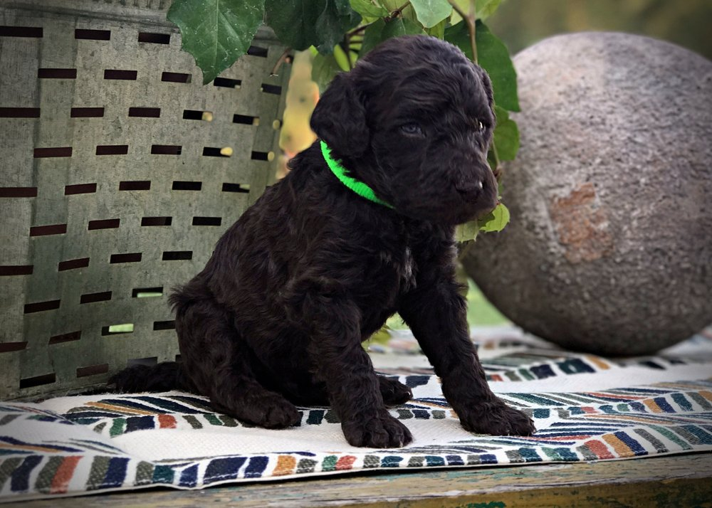 lime1_standard_poodle_puppy.JPG
