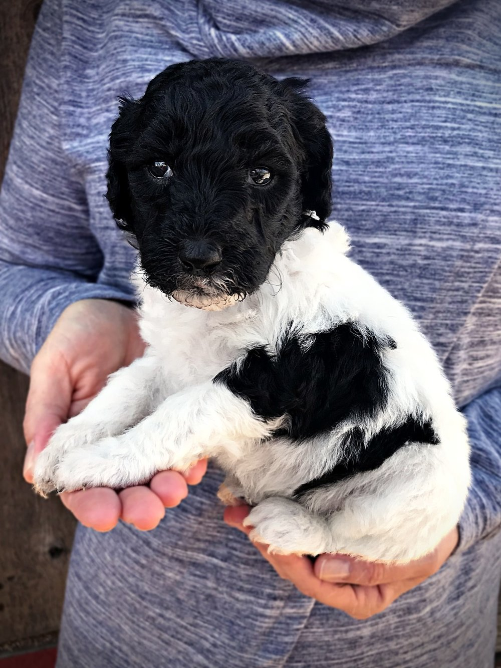 black1_standard_poodle_puppy_parti.jpg