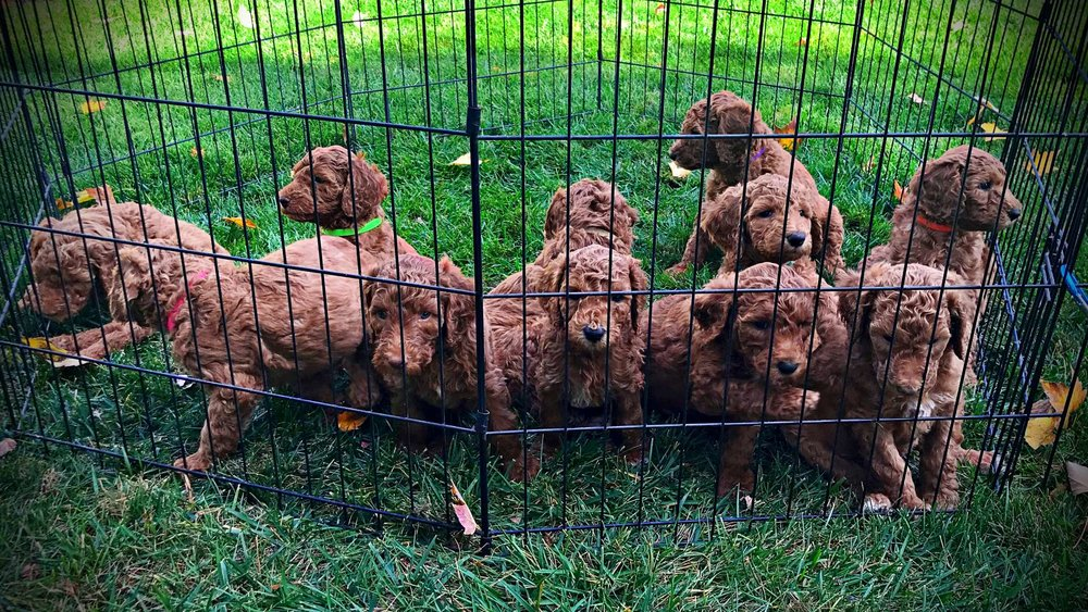 group.standard.poodle.puppies.red.jpg