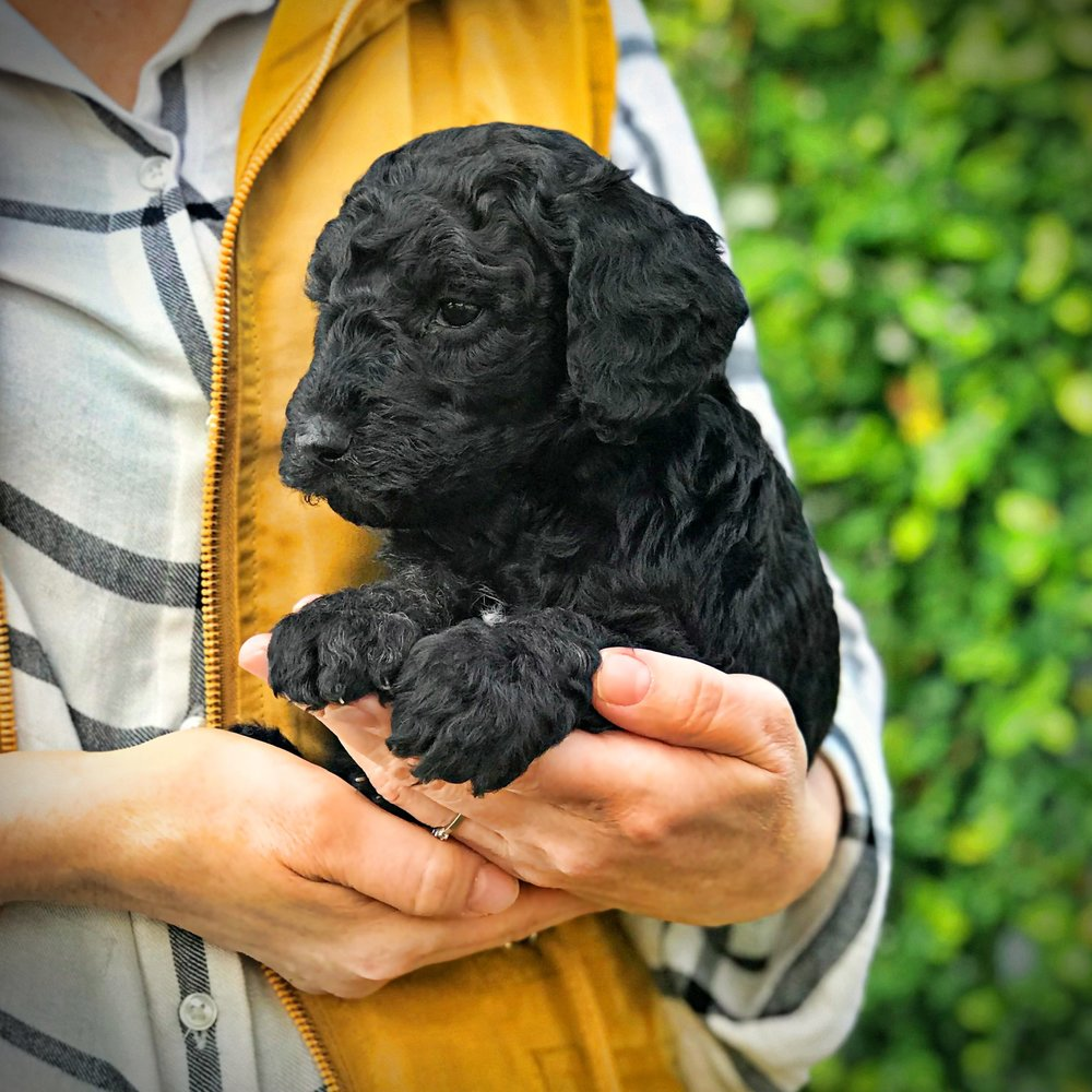 yellow1.black.standard.poodle.puppy.jpg