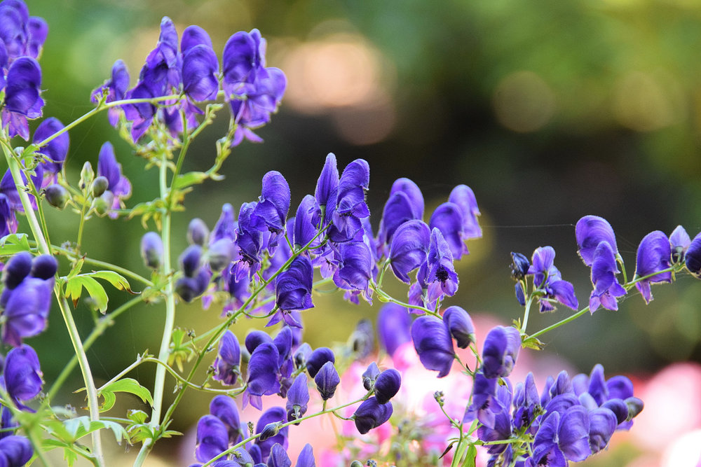 Fall-blooming monkshood flowers