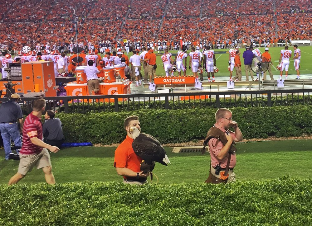 The War Eagle at Auburn circles the stadium before kickoff and lands at midfield.  Here he stops by to say hi to the out-of-towners.