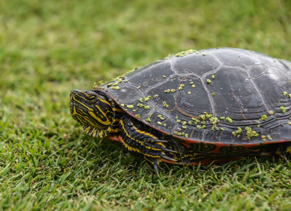 Fairway turtle is not super excited about my putting on the front nine.