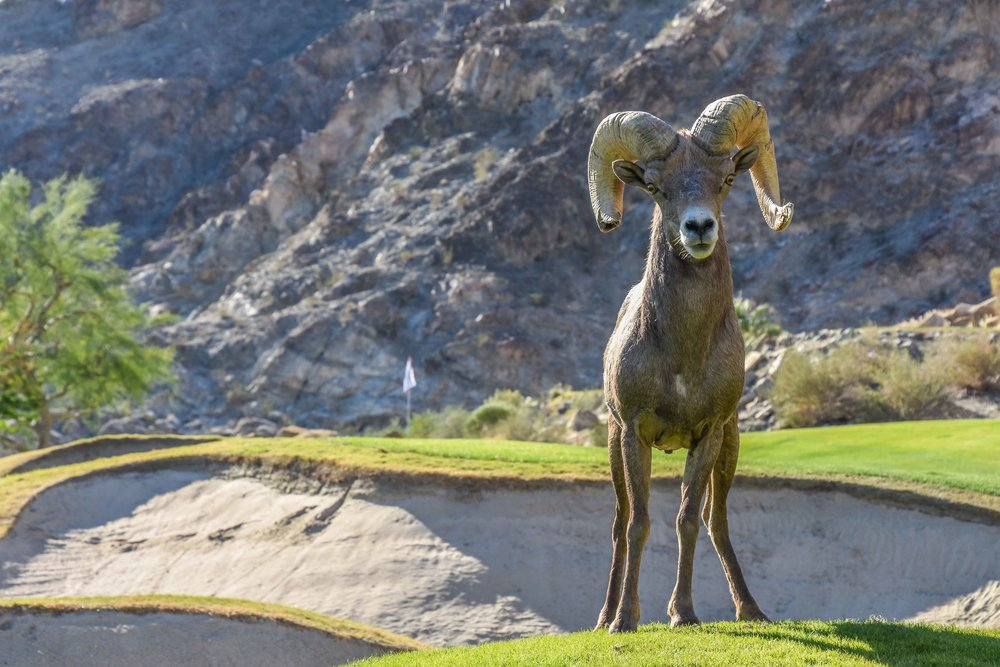 A male Big Horn Sheep poses hard for me on the Palmer Private course at PGA West