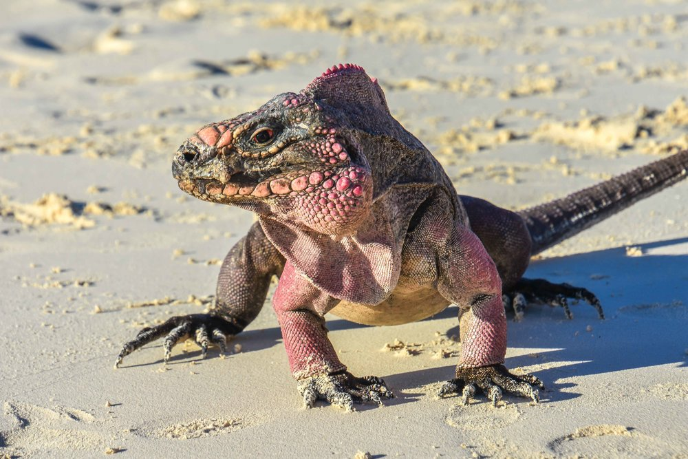 Just across from Pig Island is Iguana island. These Bahamian rock iguanas are pretty friendly.