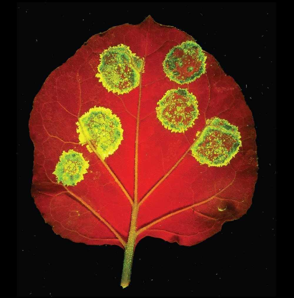 Virus mediated gene expression in plants Image: Norwich Research Park image library