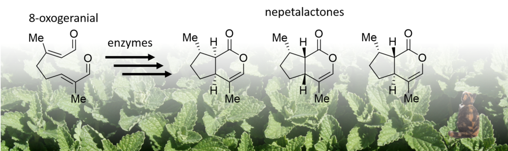 Figure 1.    Nepetalactone biosynthesis pathway in  Nepeta . We are attempting to discover the enzymes that catalyse the formation of all different nepetalactone isomers. We are also attempting to understand how these enzymes have evolved. In the background is  Nepeta mussinii .