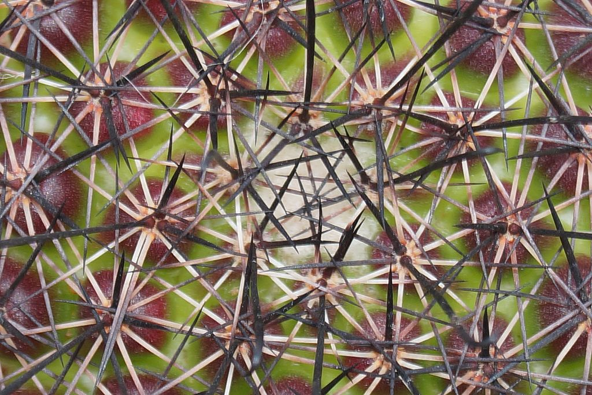 Close up of Fish hook cactus spikes