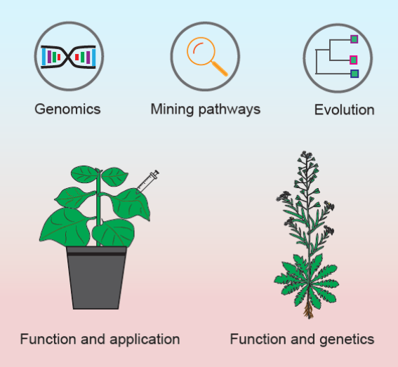 Figure legend: Multidisciplinary approaches to discover new pathways and novel natural compounds. We are using combination of bioinformatics, genetics and chemistry in attempt to decode and recode the largely untapped plant specialized metabolism