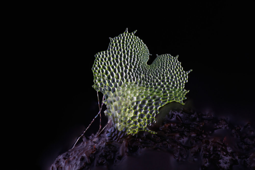 An image of a gametophyte fern, captured using the DIY Focus stacking photography system