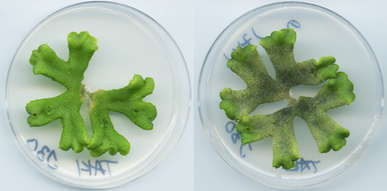 A healthy Marchantia polymorpha liverwort (left) and one that has been infected by Phytophthora palmivora (right).