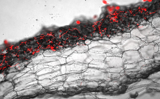 Microscopy image of a cross-section of a Marchantia polymorpha thallus showing the Phytophthora infection (red) in the upper photosynthetic layer of the liverwort plant.