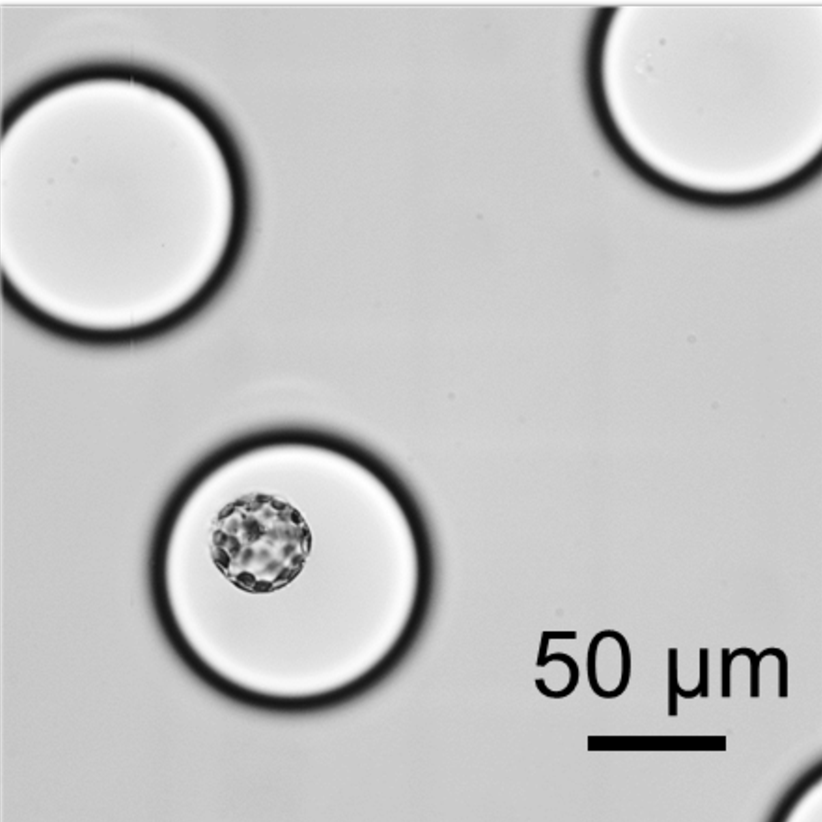 Droplet isolated protoplast.png