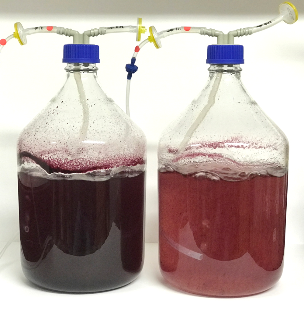 Bioreactors with engineered tobacco (left) and wild-type grape (right) cell cultures.