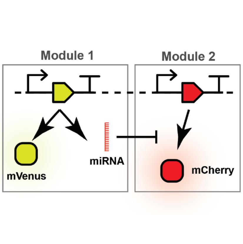 mirna-mediated regulation of synthetic gene circuits in the green alga  chlamydomonas reinhardtii