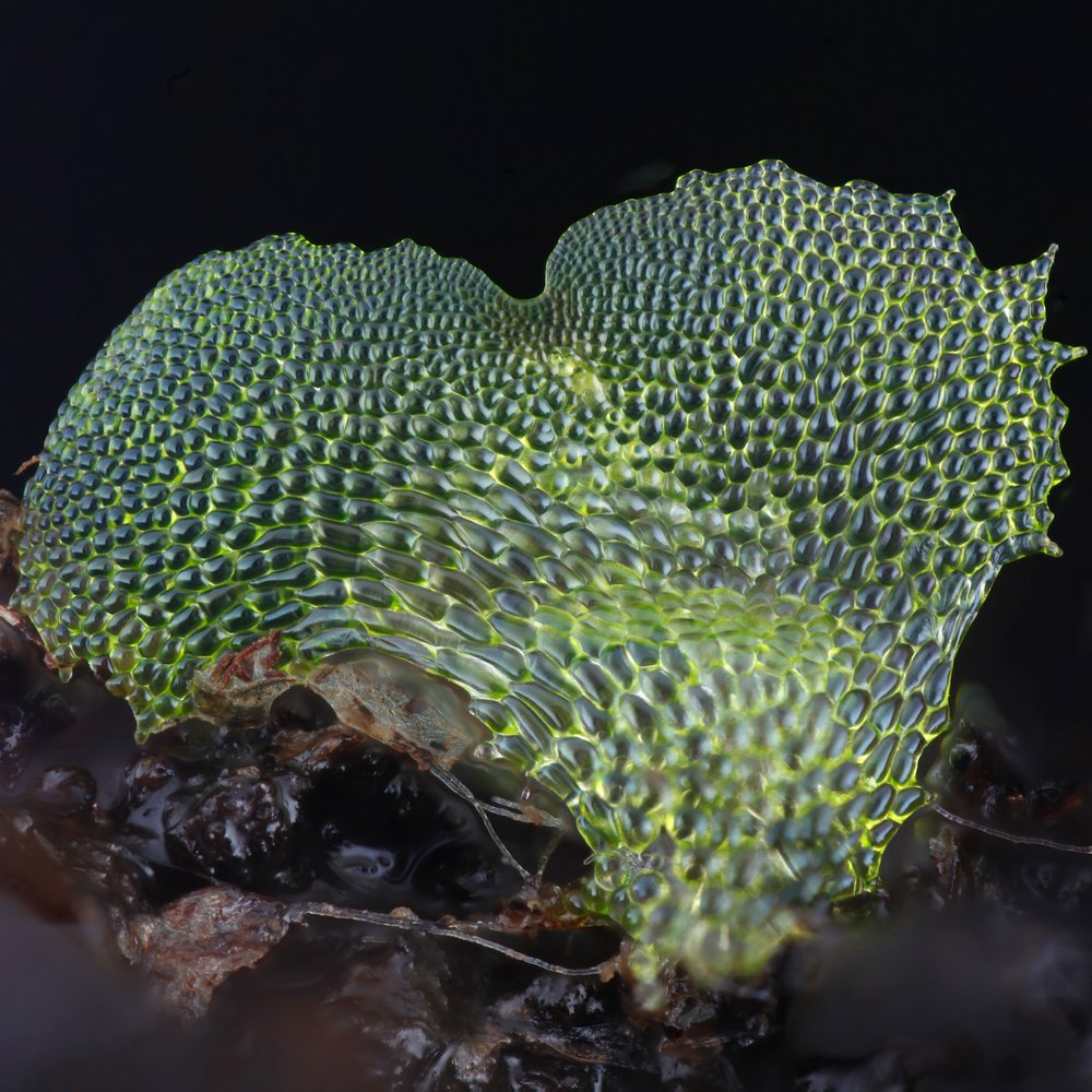 Fern Gametophyte