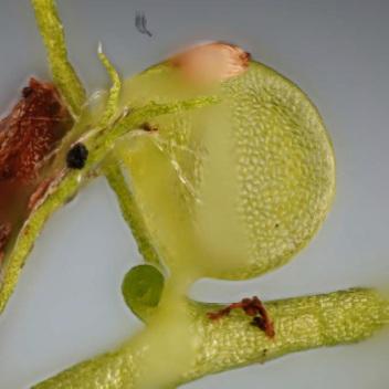 Utricularia Gibba trap