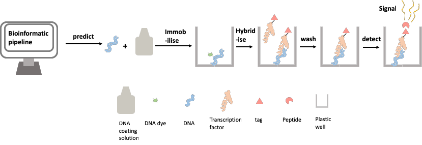 Figure 2: Assaying protein-DNA binding affinity using the transcription factor relative affinity measurement pipeline (TRAMP)