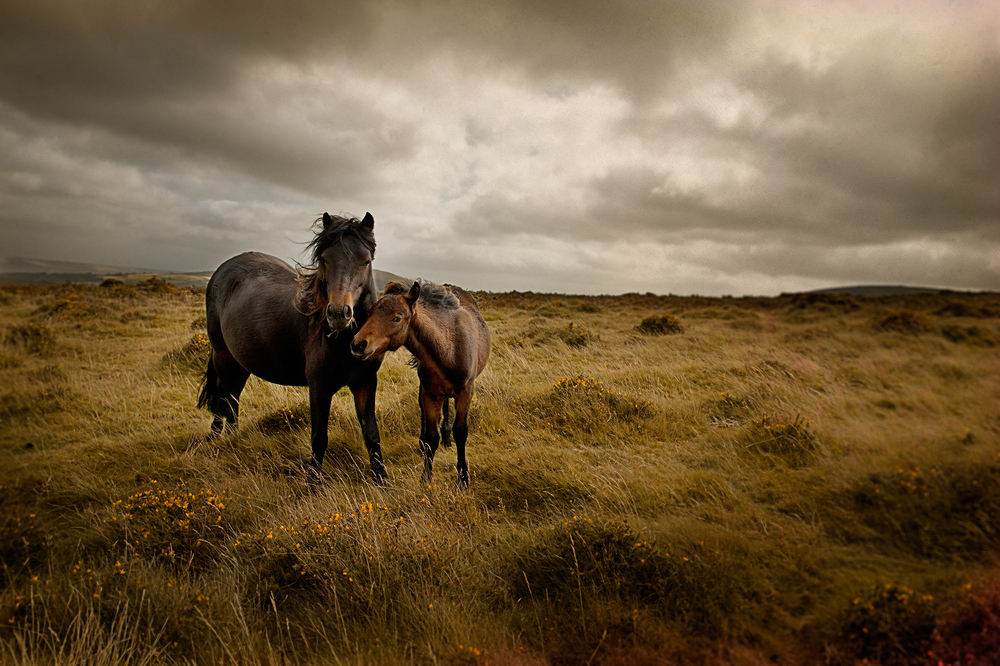 Devon Ponies