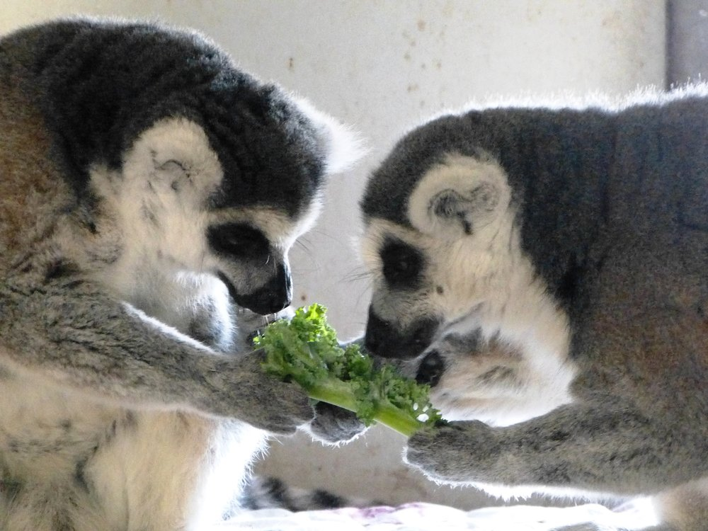 Ring-tailed Lemurs from Story Book Farm Primate Sanctuary.  Photo by:     Story Book Farm Primate Sanctuary .