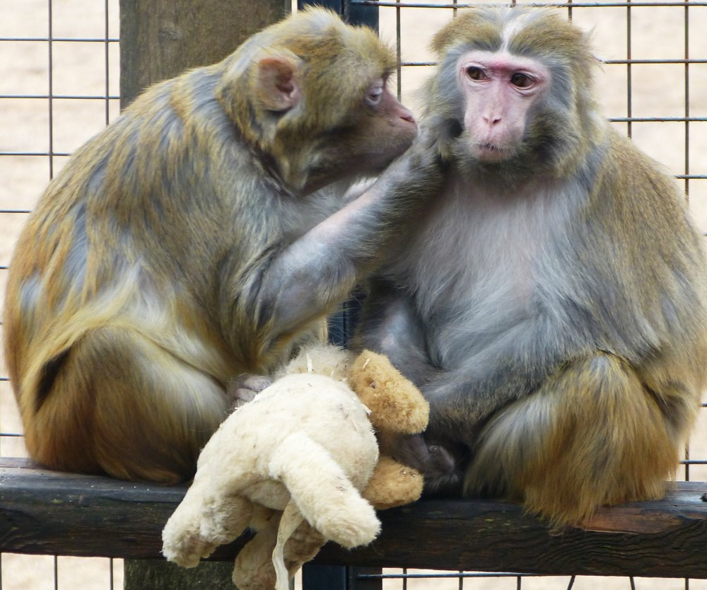 Rhesus Macaques, Boo & Gerdie, came from a laboratory in Ontario where they were used as test subjects in neurological research.  Photo by:     Story Book Farm Primate Sanctuary .