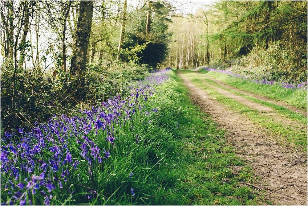 Kent woodland Bluebells