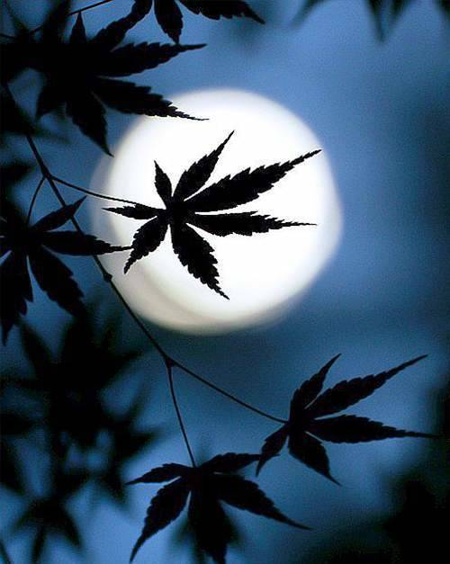 HOW_THE_MOON_AFFECTS_CANNABIS_GROWTH_TALL.jpg