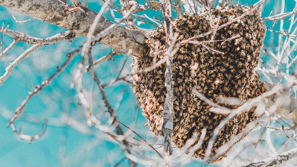 bee swarm, oceanside, ca 1.26.18