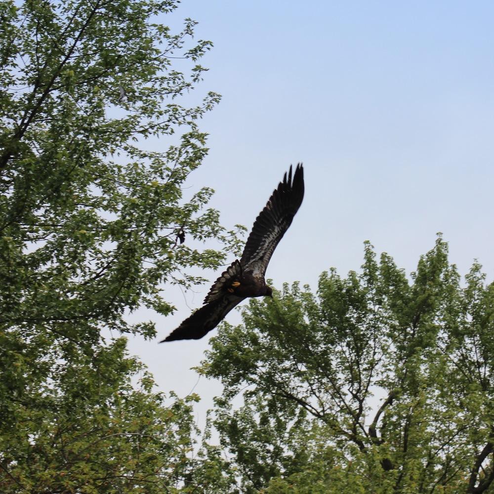 Immature bald eagle.Photo by Loren Fulton