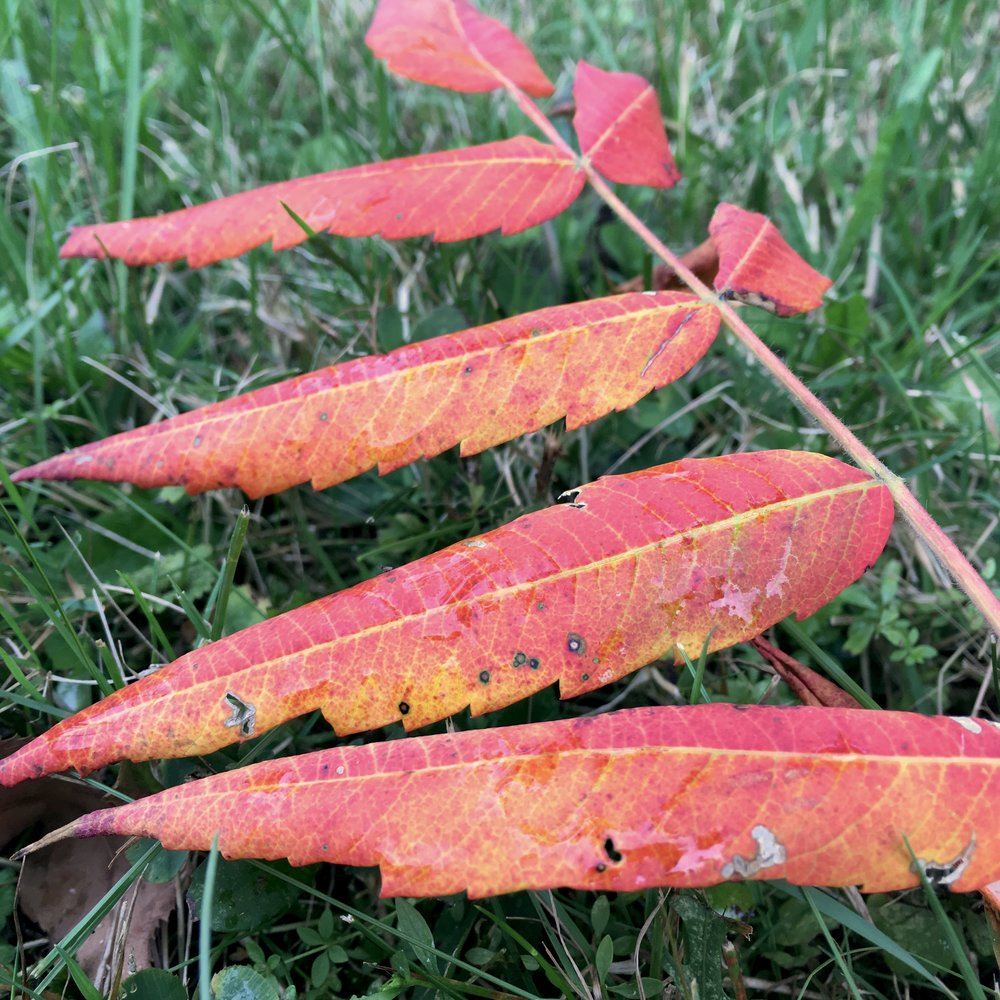 Sumac leaves foreshadowing the days to come