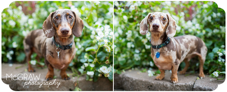 Charlotte NC Doxie Portrait
