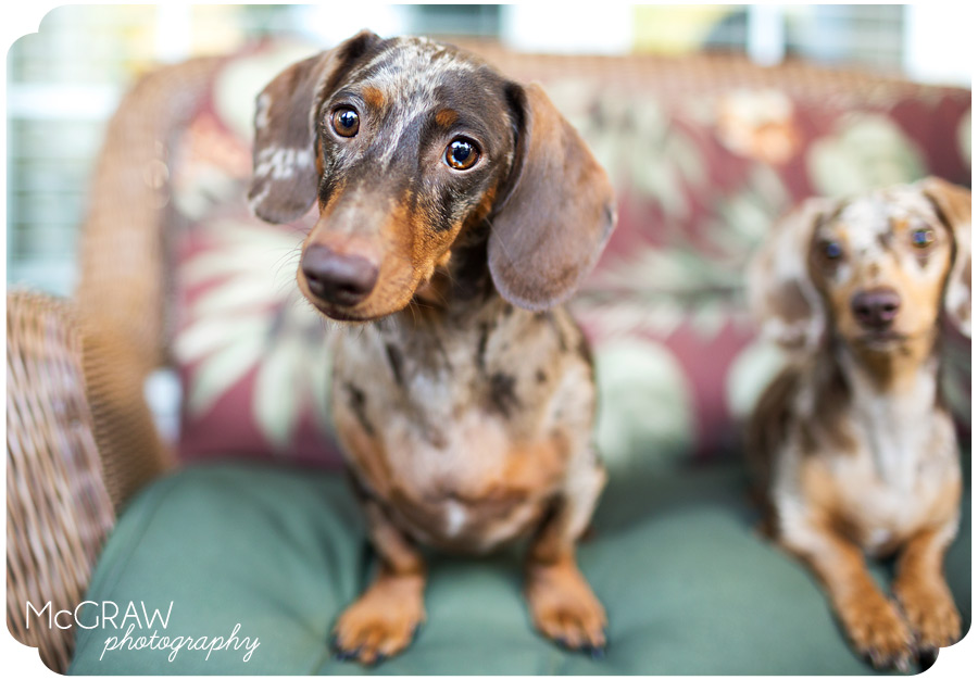 Dapple Doxie Photography