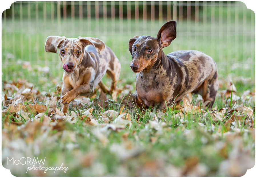 Doxie Images