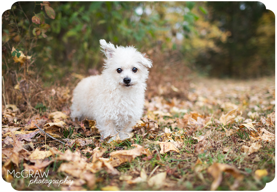Poodle-mix portraits