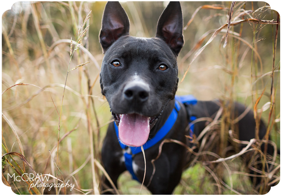 Happy black adoptable pit mix