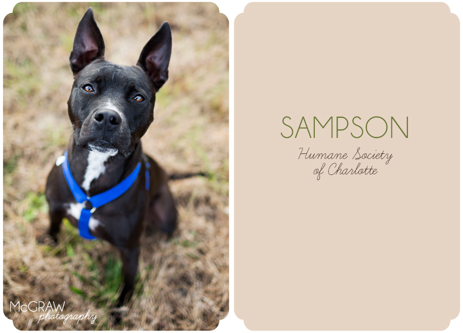 Black pit mix adoptable from HSC