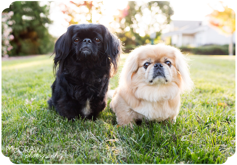 Pekingese Sitting Together