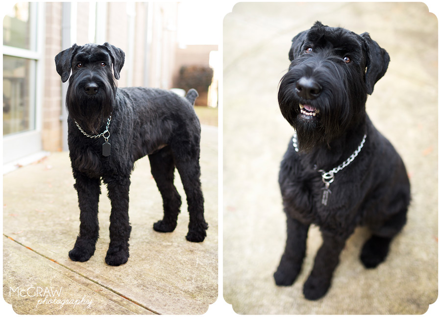 Giant Schnauzer Model