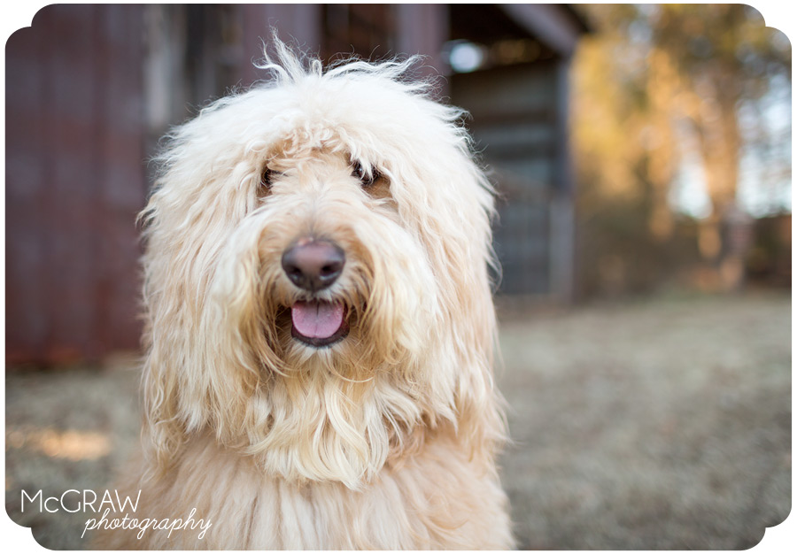Charlotte NC Goldendoodle Photographer