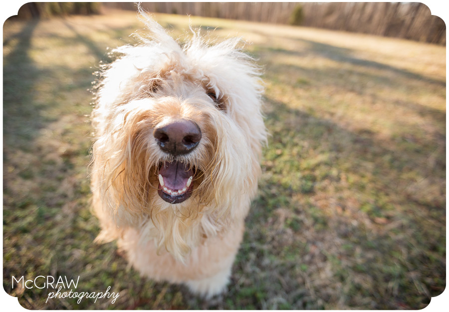 Goldendoodle Photographer