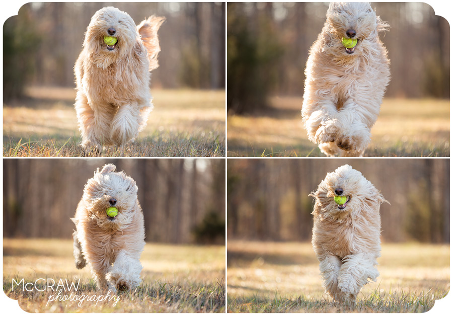 Goldendoodle running with ball