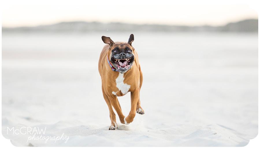 Boxer running on Emerald Isle beach