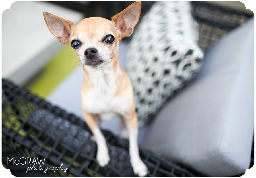 North Carolina Chihuahua Portraits