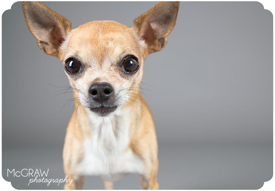 Chihuahua Studio Portrait